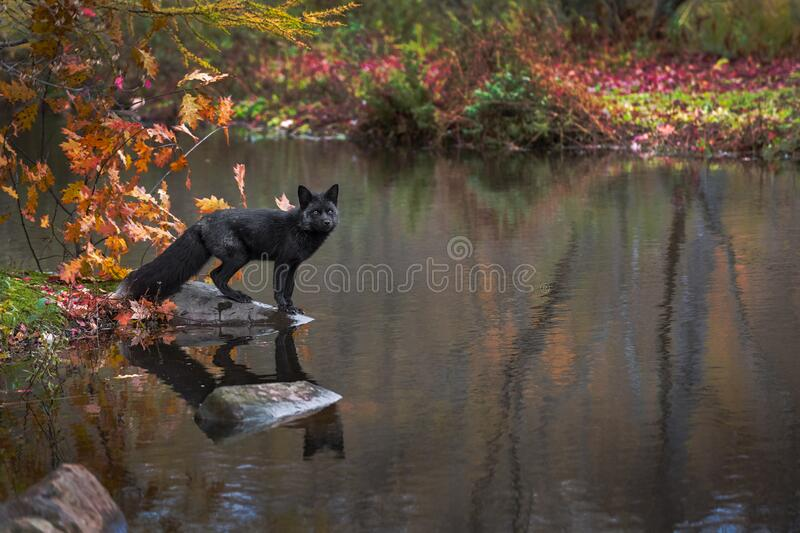 Silver Fox Vulpes vulpes Gazes Out From Atop Rock Copy Space Right Autumn royalty free stock photos