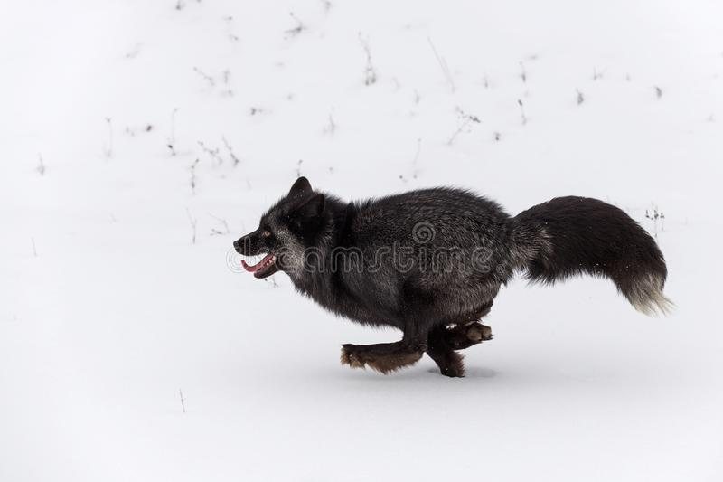 Silver Fox Vulpes vulpes Runs Left Full Out Winter. Captive animal royalty free stock image