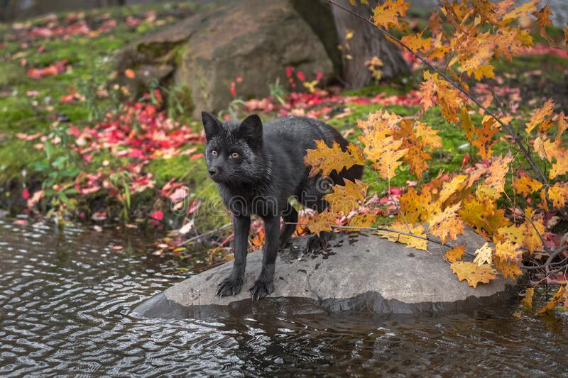 Silver Fox Vulpes vulpes Stands on Rock Front Paws Nearly in Water Autumn stock photo