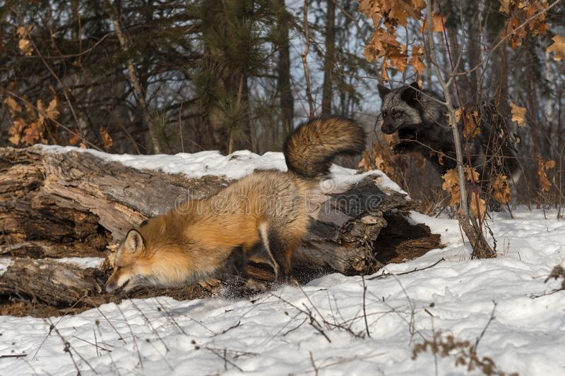 Silver Fox Vulpes vulpes Chases After Amber Phase Red Fox Winter. Captive animals royalty free stock photos