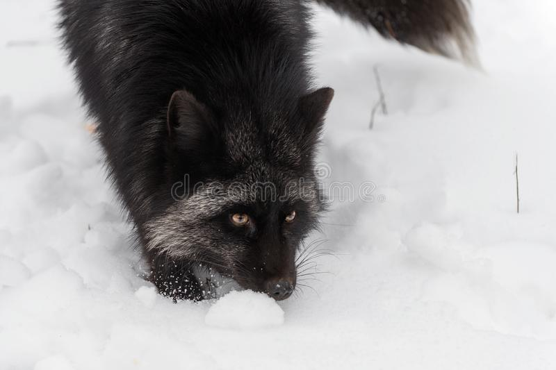 Silver Fox Vulpes vulpes Close Up with Tail Tip Winter. Captive animal stock photo