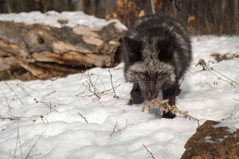 Silver Fox Vulpes vulpes Sniffs at Weed Winter. Captive animal stock photo