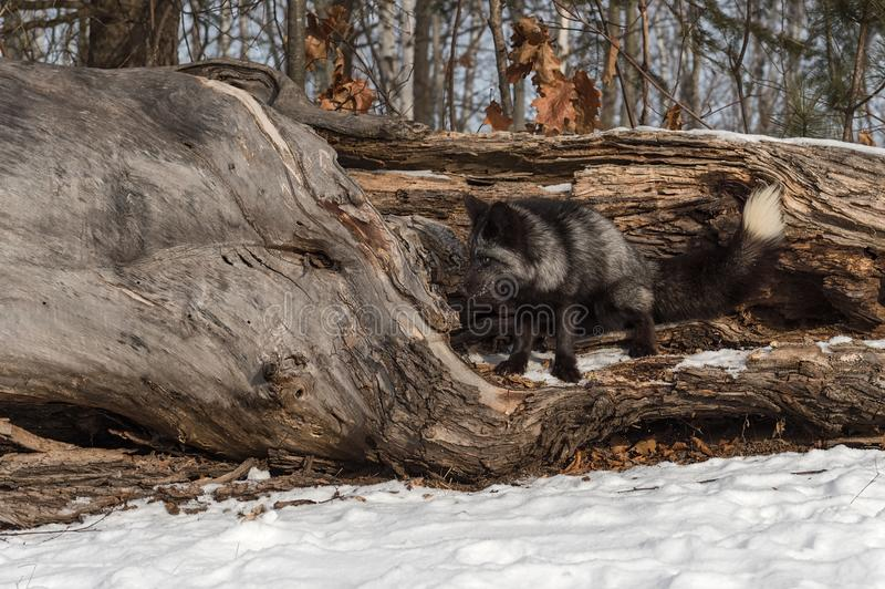 Silver Fox Vulpes vulpes Squats to Mark Log. Captive animal stock photography
