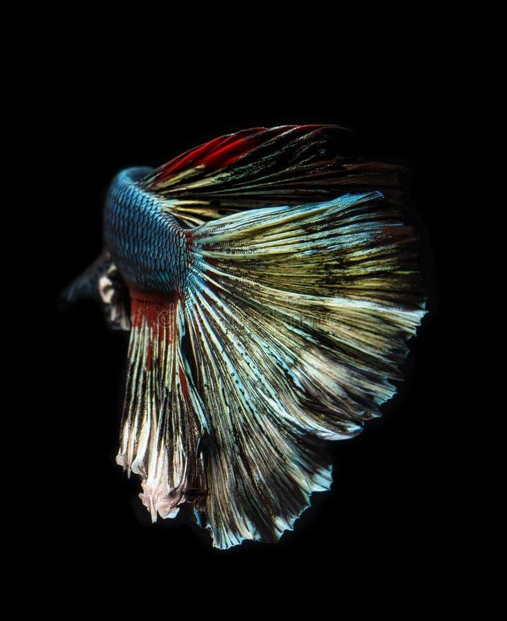 Silver golden copper color betta fish. Silver golden copper color betta Siamese fighting fish in action stock image