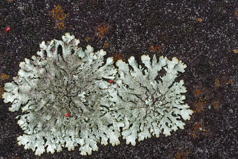 Silver grey foliose lichen with red spider mites stock photography