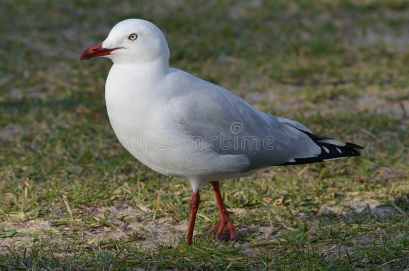 Silver Gull Chroicocephalus novaehollandiae Laridae stock photo