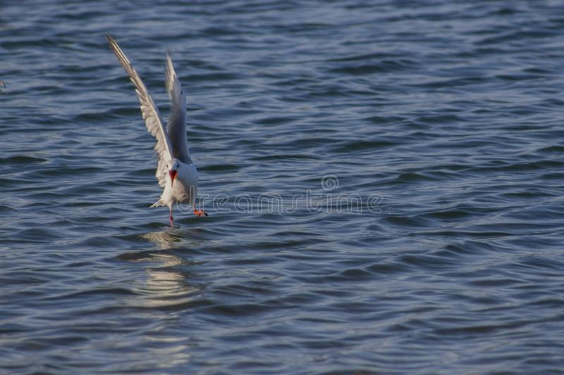A screaming seagull that lands in the sea. The silver gull has a light plumage. Its back and wings are gray, with the longest swaying feathers black, with white stock photos