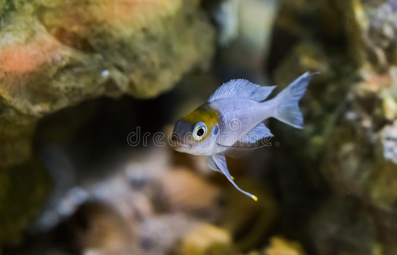 Silver juvenile fish with color on his head, probably red cap cichlid. A silver juvenile fish with color on his head, probably red cap cichlid royalty free stock images