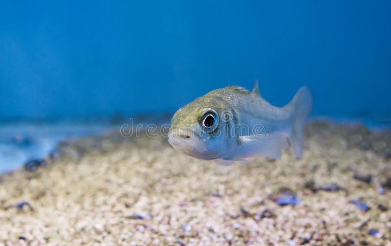 Silver juvenile sea bass, portrait of a young small fish stock images