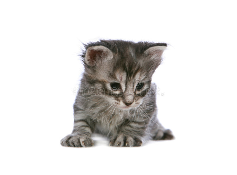 Download Silver kitten stock photo. Image of domestic, animal, looking - 7969930