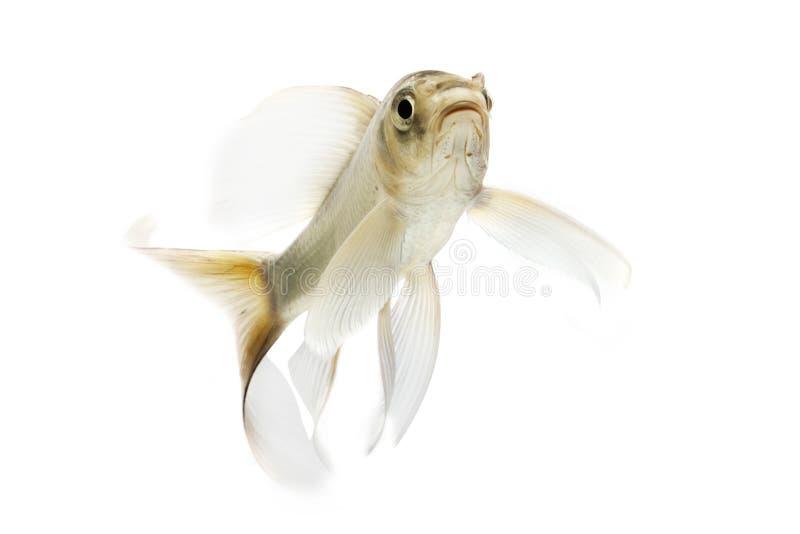 Silver Koi Fish Royalty Free Stock Photos
