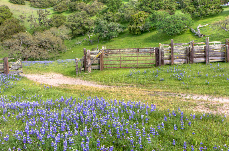 Silver Lupine Growing Wild in Meadow royalty free stock photography