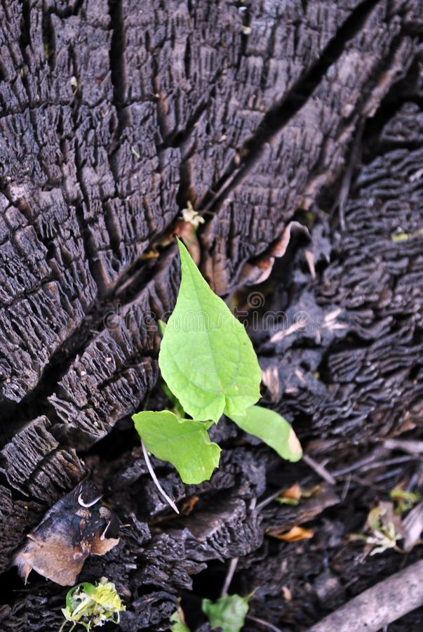 Silver maple tree new sprout growing in cracked old tree trunk. Background stock photography