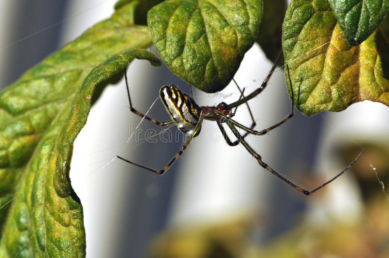 Silver orb spider stock photos