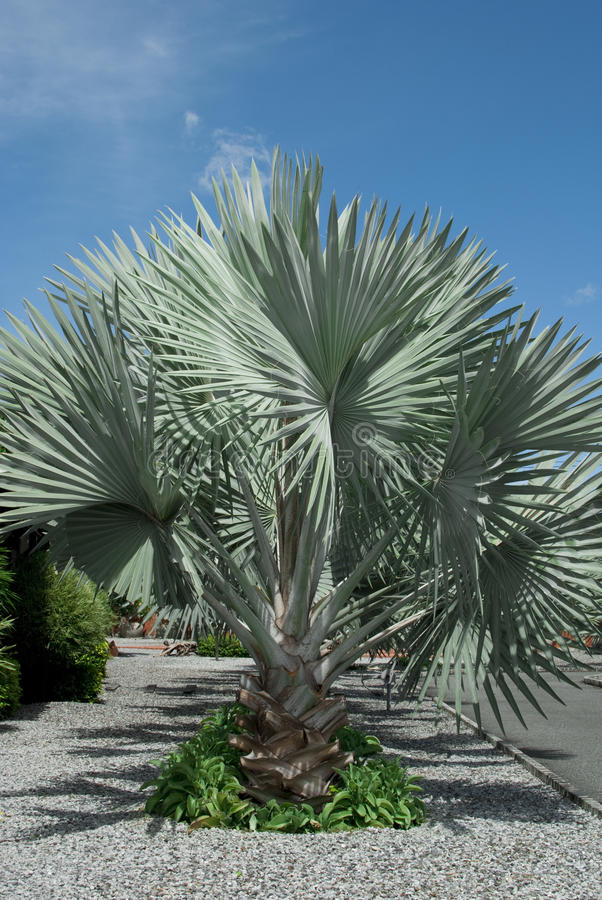 Download Silver Palm Tree stock image. Image of exotic, plant - 17209245