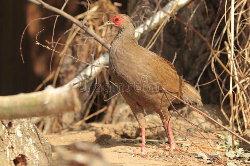 Silver pheasant royalty free stock image