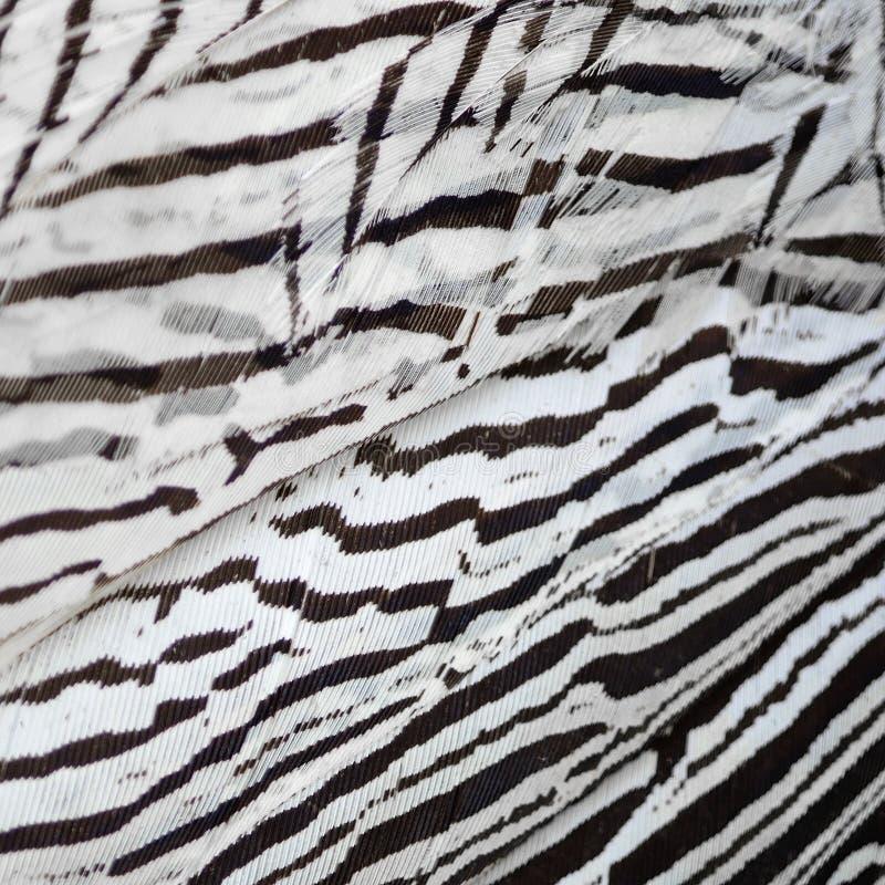 Silver Pheasant feathers royalty free stock photos
