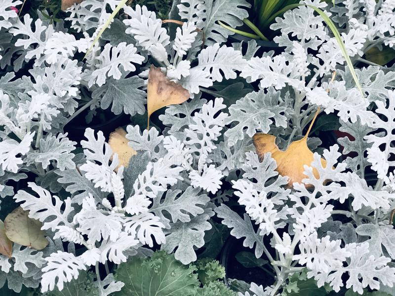 Silver ragwort leaves, dusty miller leaves, Latin name - Senecio cineraria Cirrus in botanical garden public park. Silver ragwort leaves, dusty miller leaves royalty free stock photo