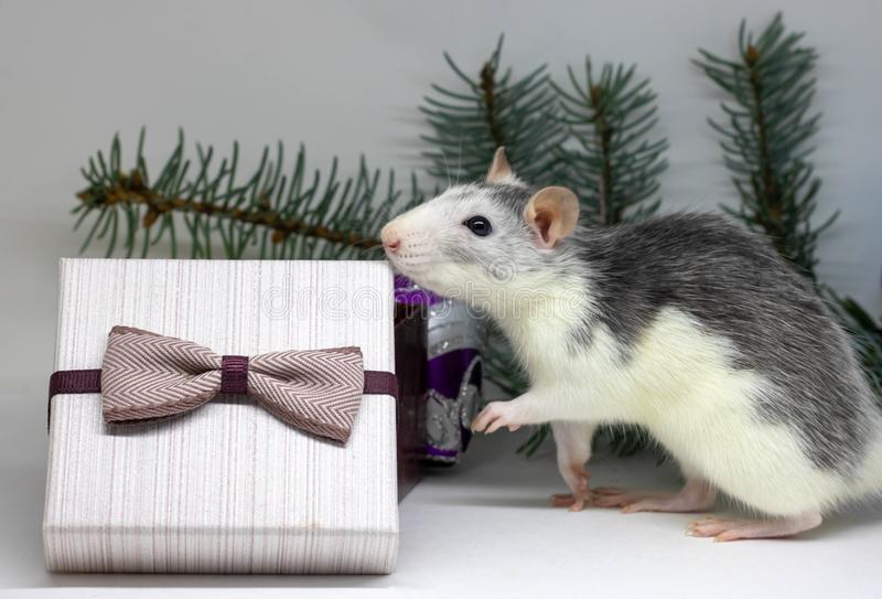 Silver rat and presents. Rat on the background of Christmas decorations. Symbol of 2020. year of rat stock images