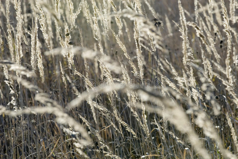 Download Silver spikelet stock photo. Image of outdoors, gold - 26526172