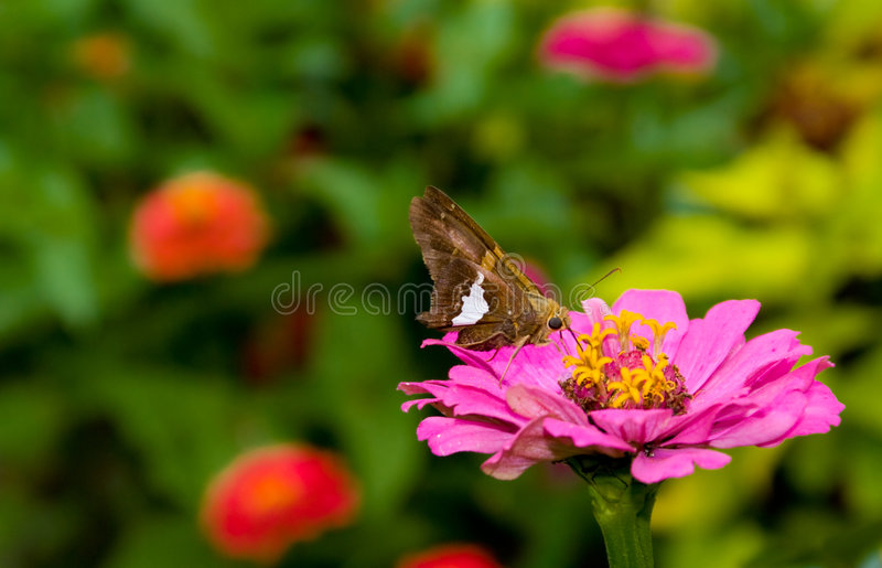 Silver Spotted Skipper stock photos