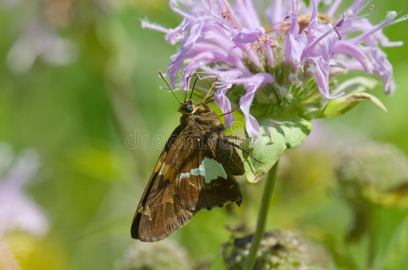 Silver-spotted Skipper on Bee-balm. Photograph of a silver-spotted skipper butterfly feeding on a brilliantly colored wildflower in a midwestern meadow royalty free stock photography