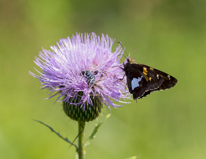 Silver-spotted Skipper and a Bumble Bee on a Milk Thistle royalty free stock images