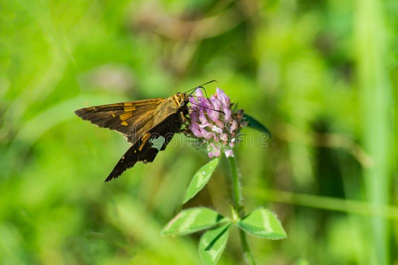 A Silver Spotted Skipper Butterfly, Epargyreus clarus stock image