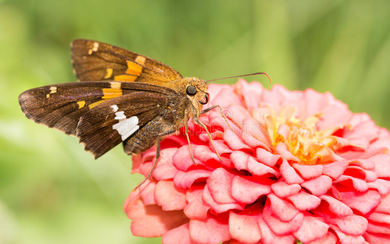 Silver-spotted Skipper butterfly stock images