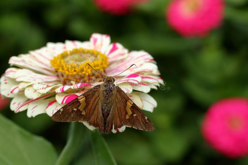 Silver Spotted Skipper Butterfly on Flower stock image
