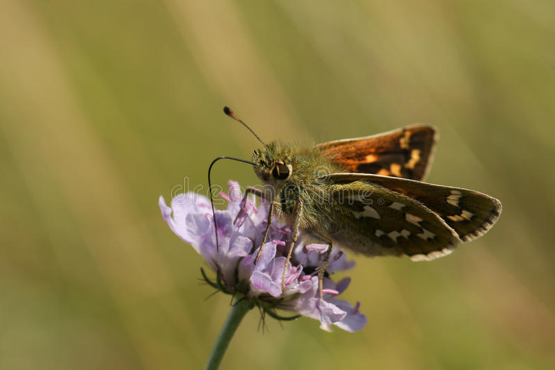 Silver Spotted Skipper Butterfly (Hesperia comma). royalty free stock images
