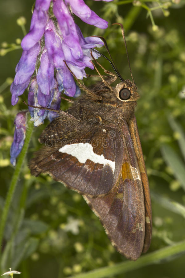 Silver-spotted skipper butterfly on lupine flower in Connecticut stock photo