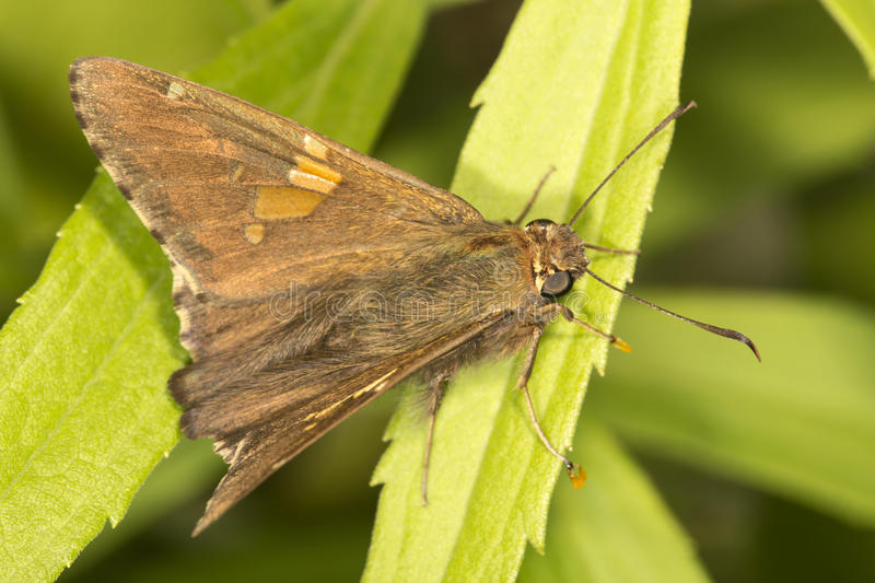 Silver-spotted skipper butterfly in a meadow in Connecticut. royalty free stock photo