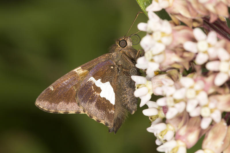Silver-spotted skipper butterfly on milkweed flower in Connecticut. royalty free stock photos