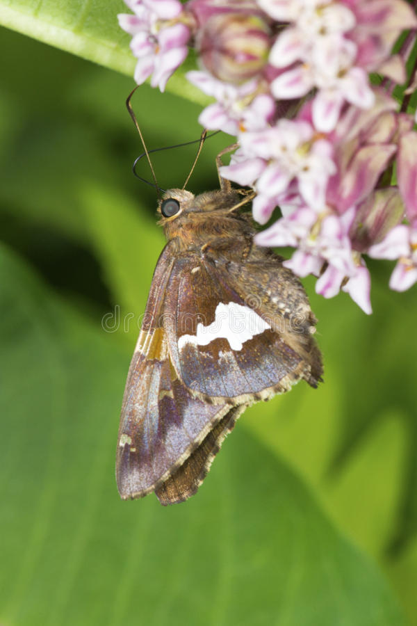 Silver-spotted skipper butterfly on milkweed flowers in Connecticut. stock image