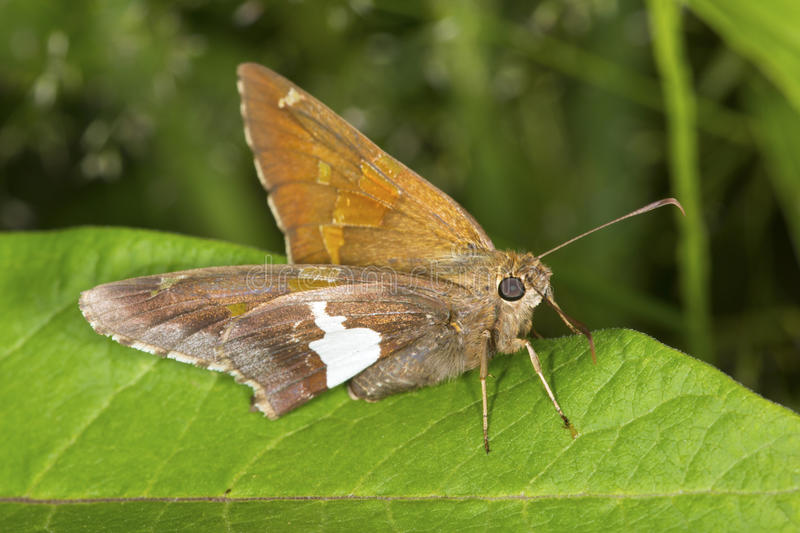 Silver-spotted skipper butterfly on milkweed leaf in Connecticut stock photos