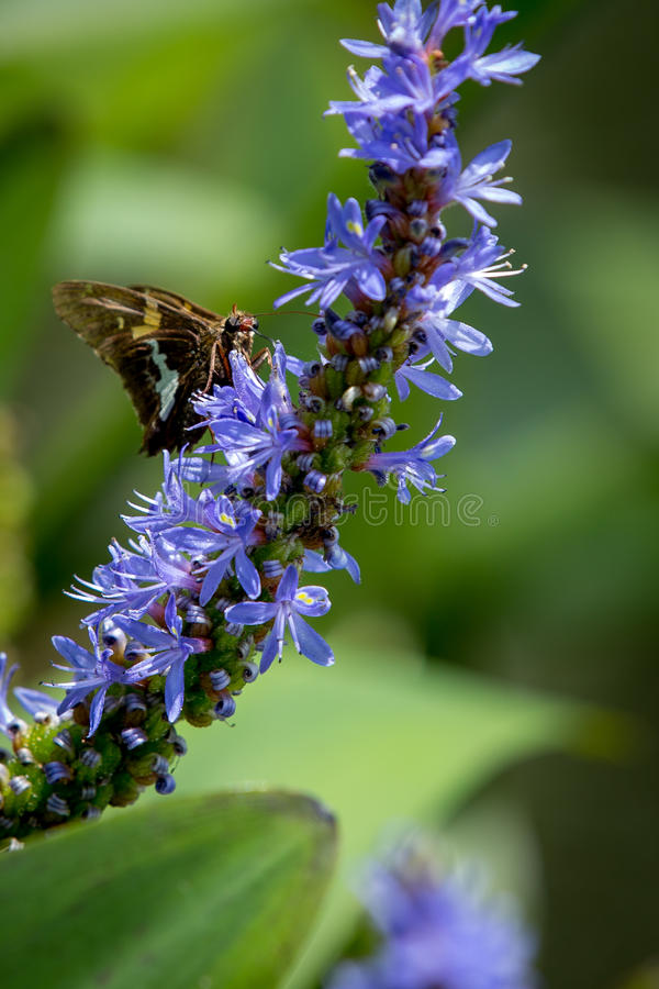 Silver-spotted Skipper butterfly on Pickerelweed stock images
