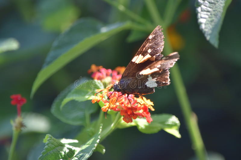 Silver-spotted Skipper and Milkweed royalty free stock photo