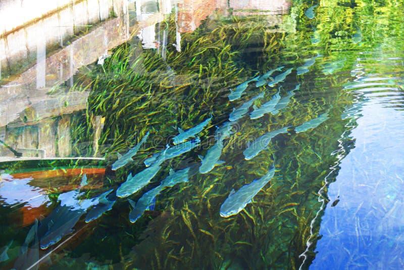 Silver- Springsfische stockbilder