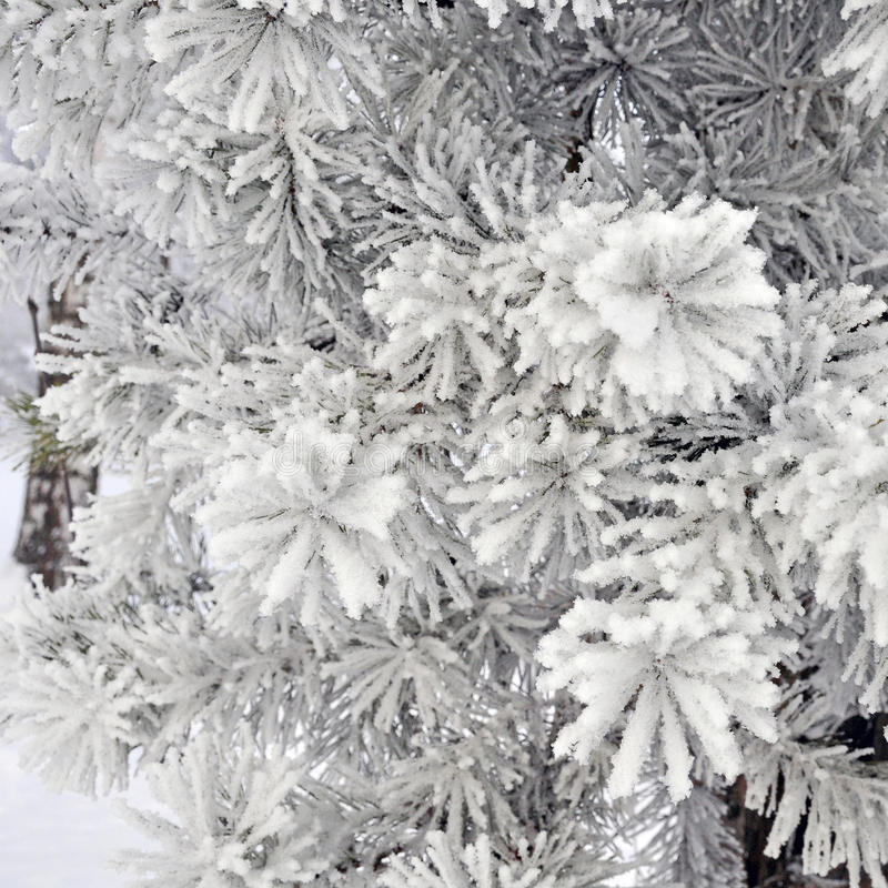 Silver spruce tree covered with snow stock image