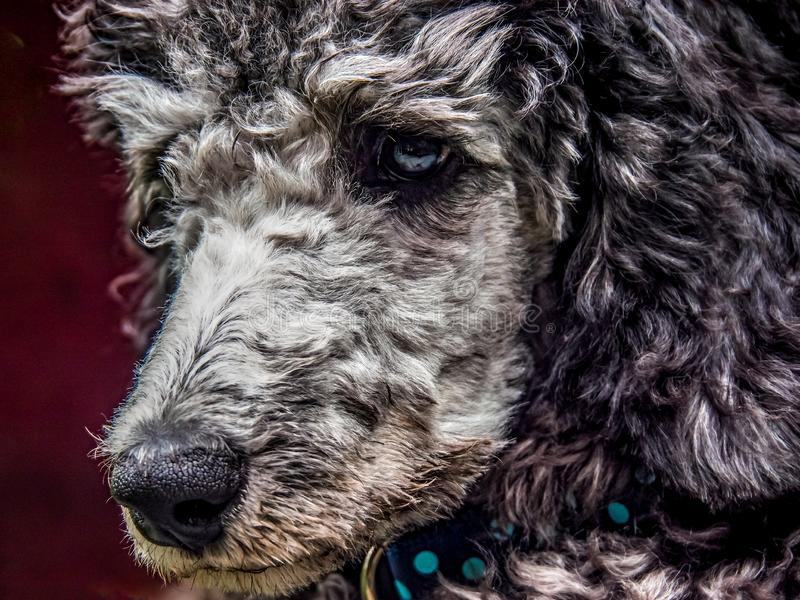 Silver Standard Poodle Puppy head. Thoughtful silver/grey Standard Poodle Puppy head nose and eyes. Looking and thinking royalty free stock images