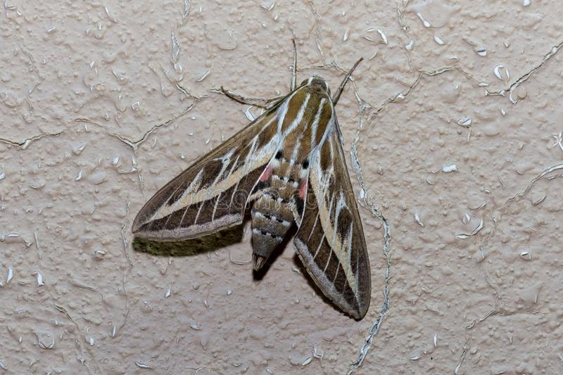 Silver Striped Hawk Moth on a wall. A hawk moth stands on the wall showing off its stripes and colours attempting to intimidate prey in the evening in Ras al royalty free stock images
