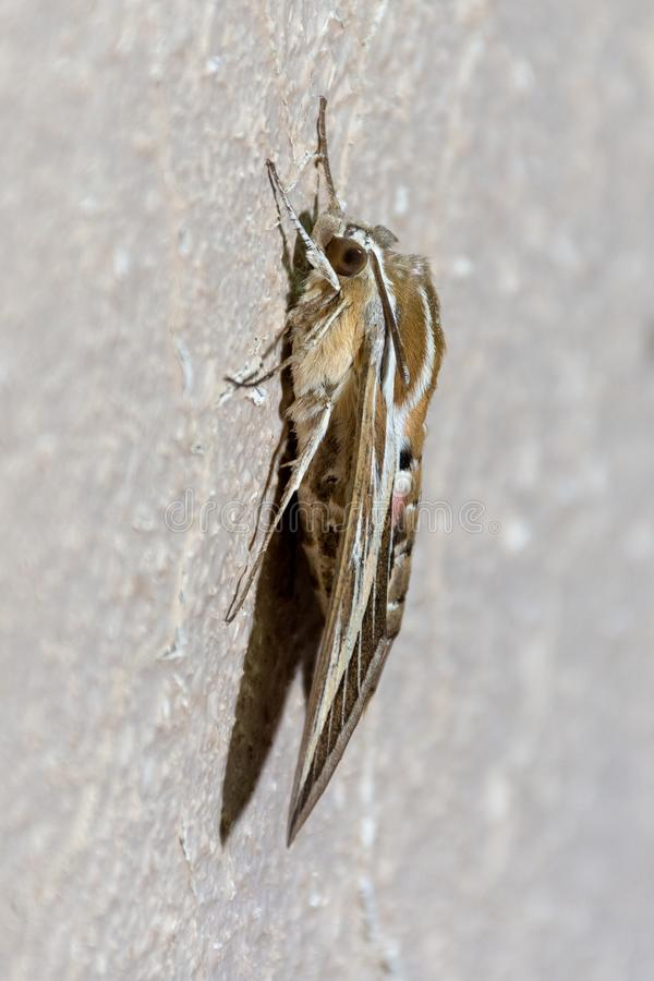 Silver Striped Hawk Moth on a wall profile. A profile shot of a hawk moth stands on the wall showing off its stripes and colours attempting to intimidate prey in royalty free stock images