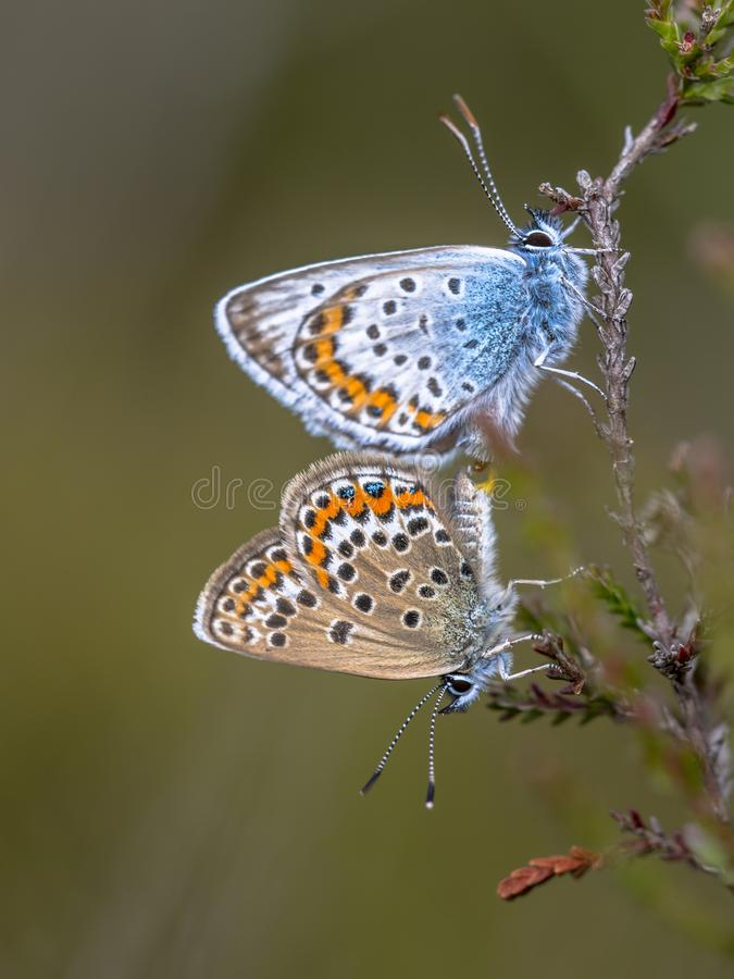 silver studded blue butterflies mating on common heather royalty free stock photo