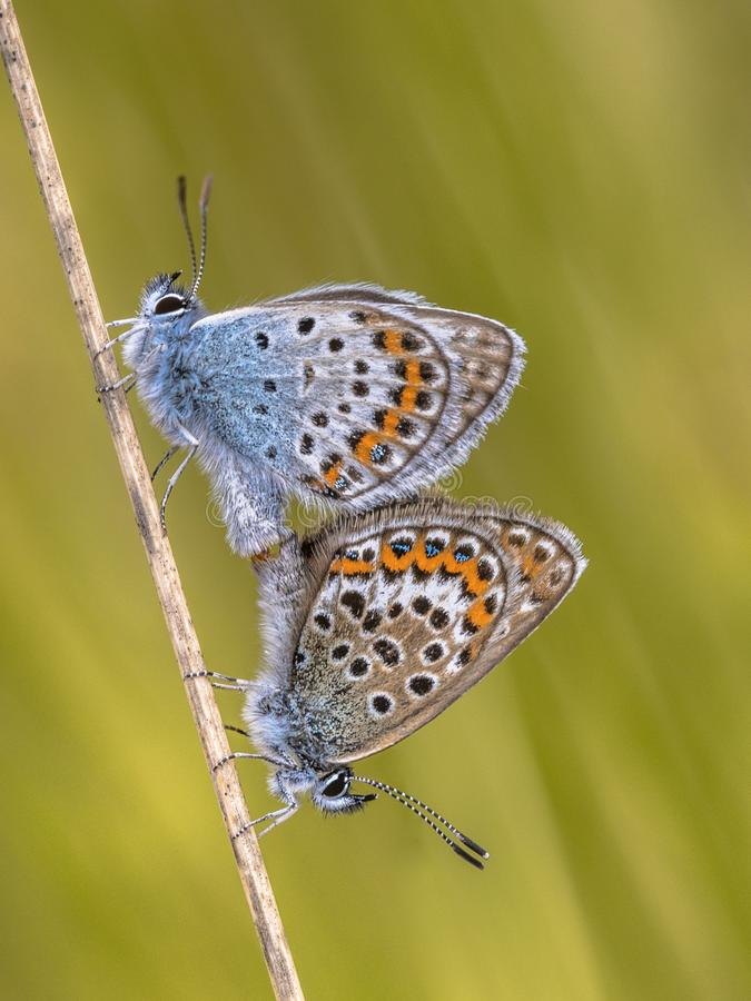 silver studded blue butterflies mating royalty free stock image