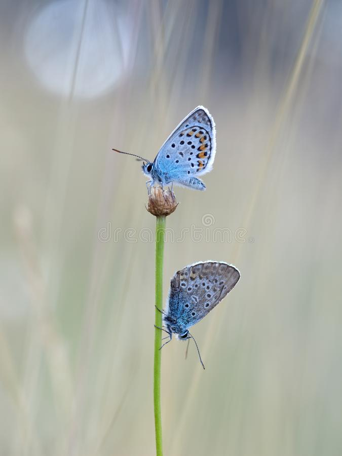 Silver-studded Blue Butterflies - Plebejus argus, at dusk. royalty free stock image