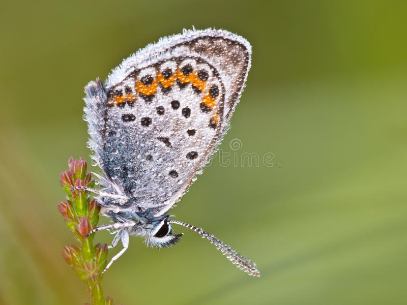 Silver Studded Blue Butterfly stock image