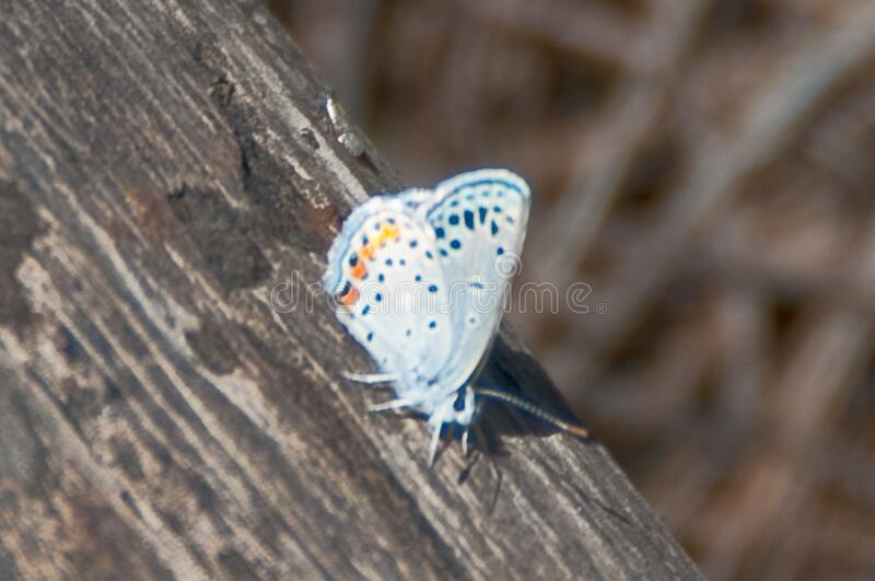 Silver Studded Blue Butterfly stock images