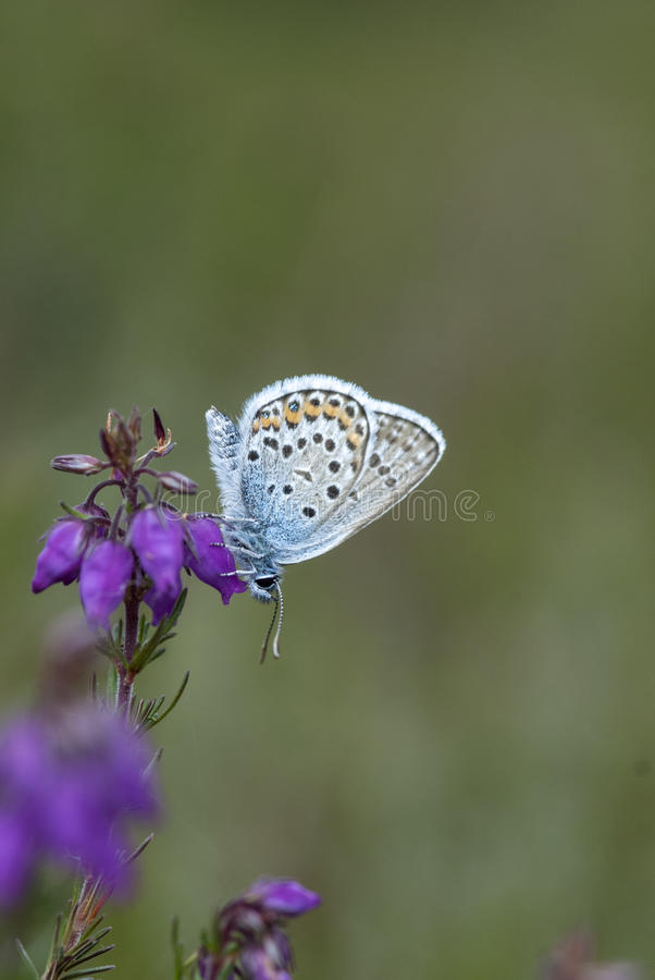 Silver-studded blue butterfly, plebejus argus royalty free stock image
