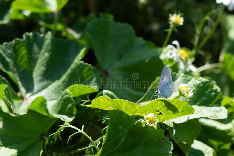 Silver Studded Blue Butterfly. Plebejus Argus. Close up of a Silver Studded Blue Butterfly, resting on a green leaf royalty free stock photos